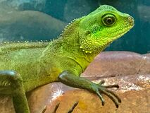Portrait of green lizard Royalty Free Stock Images