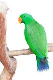 Portrait of Green Parrot Stock Photo