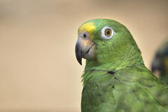 Portrait of green parrot Royalty Free Stock Photo