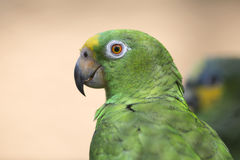 Portrait of green parrot Royalty Free Stock Photos