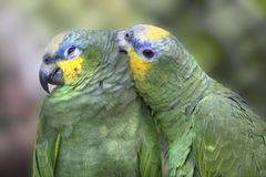Portrait of green parrot Stock Images