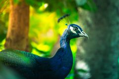 Peacock portrait. Portrait of Green Peafowl, wild peacock in thailand Stock Image
