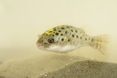Portrait of Green Spotted Puffer Fish Royalty Free Stock Photography