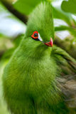 Portrait of Green Turaco Stock Images