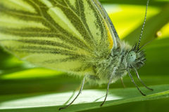 Portrait of Green-veined white. The green-veined white Pieris napi is a butterfly of the family Pieridae. Wonderful portrait of a beautiful butterfly. The Stock Image
