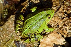 Portrait of a green wild frog royalty free stock photos