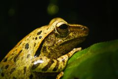 Portrait of a green wild frog stock photo