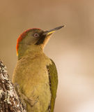 Portrait of a Green Woodpecker Stock Photos