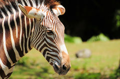 Portrait of a Grevy's Zebra Stock Photography