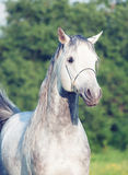Portrait of  grey arabian horse Stock Image