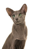Portrait of grey blue siamese cat Royalty Free Stock Photos