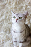 Portrait of grey britain cat. Very beautiful cat. Stock Photo