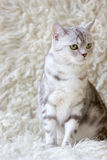 Portrait of grey britain cat. Very beautiful cat. Royalty Free Stock Images
