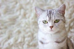 Portrait of grey britain cat. Very beautiful cat. Stock Photo