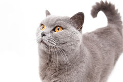 Portrait of a grey british cat Royalty Free Stock Images