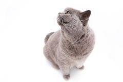 Portrait of a grey british cat Royalty Free Stock Photo