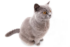 Portrait of a grey british cat Stock Photos
