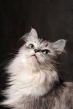 Portrait of a grey cat Stock Image