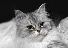 Portrait of a grey cat Royalty Free Stock Images