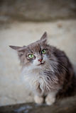 Portrait of a grey cat with big green eyes Stock Photos