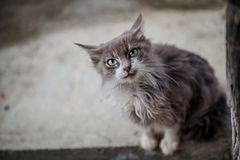 Portrait of a grey cat with big green eyes Royalty Free Stock Images
