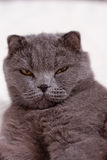 Portrait grey cat breed Royalty Free Stock Images