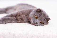 Portrait grey cat breed Stock Photography