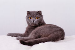 Scottish Fold lop-eared. Stock Images