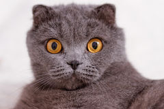 Scottish Fold lop-eared. Royalty Free Stock Image