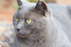 Portrait of a grey cat with green eyes Stock Photo