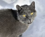 Portrait of grey cat with yellow eyes. Looking on snow background stock photo