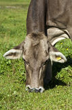 Portrait of a Grey cattle cow Royalty Free Stock Photo