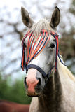 Portrait of a grey colored arabian horse rural scene Royalty Free Stock Image