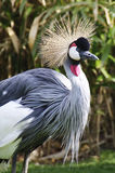 Portrait of a Grey Crowned Crane Stock Photography