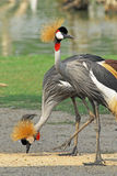 Portrait of a Grey Crowned Crane Stock Image