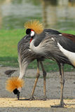 Portrait of a Grey Crowned Crane Royalty Free Stock Images