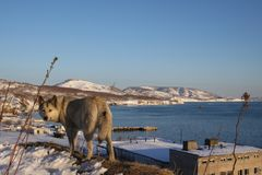 Portrait of grey dog wolf - dog and winter view of Avacha bay behind. royalty free stock image