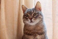 Portrait of grey domestic cat. Close up portrait of grey domestic cat sitting Stock Photo