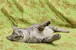 Portrait of grey elegant domestic cat Stock Images