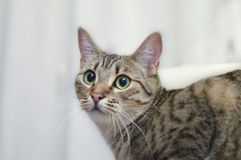 Portrait of a grey european short hair cat green eyes. Beautiful European cat with big green eyes in white background Royalty Free Stock Photos