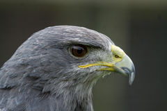 Portrait of a Grey falcan Royalty Free Stock Images