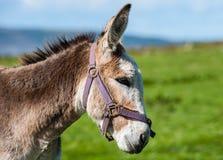 Portrait of grey fluffy donkey Royalty Free Stock Photo