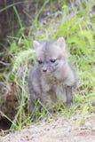 Portrait grey fox kit Stock Images