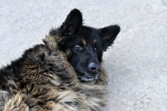 A portrait of a grey germany shepherd dog. Royalty Free Stock Photos