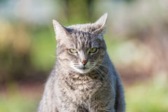 Portrait of grey haired cat with green eyes. Close up of snout, front view. Shot outdoors with very shallow depth of field. Stock Photos