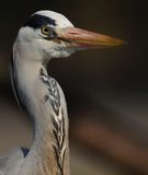 Portrait of a Grey Heron royalty free stock photography