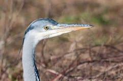 Portrait of a grey heron ardea cinerea stock photos