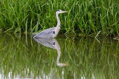 Portrait of grey heron Ardea cinerea standing in green water Stock Photography