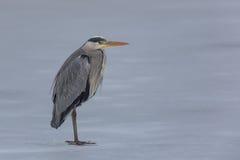 Portrait of grey heron Ardea cinerea Royalty Free Stock Photo