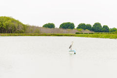 Portrait of Grey Heron Royalty Free Stock Images